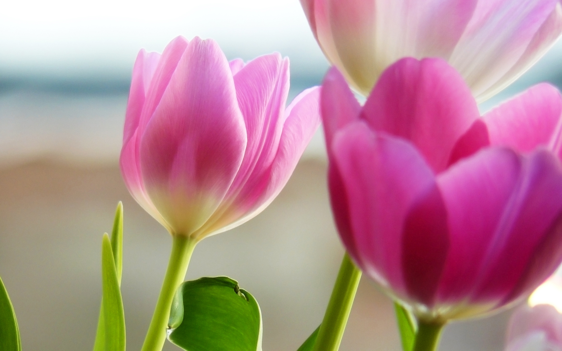 Free tulips in spring flower wallpapers wallpaper